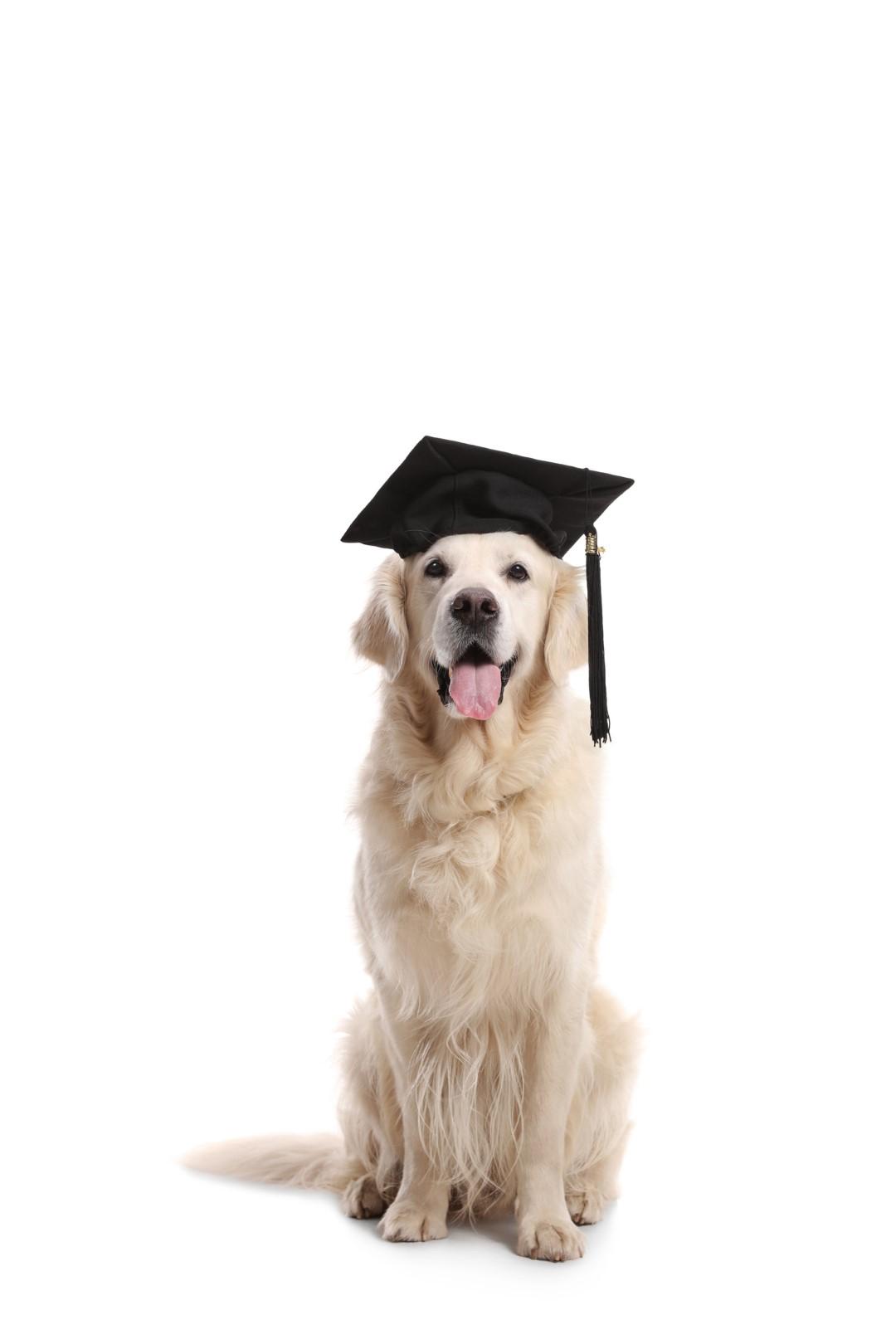 Retriever with graduation cap - Good Mojo Dog Manor