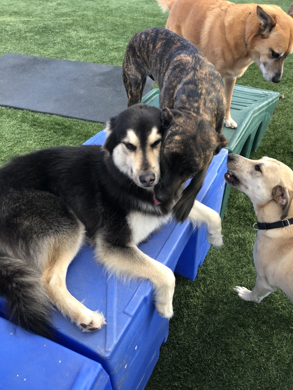 Dogs playing on a ramp at Good Mojo Dog Manor